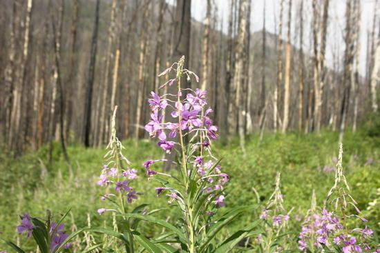 why do you think they call it fireweed