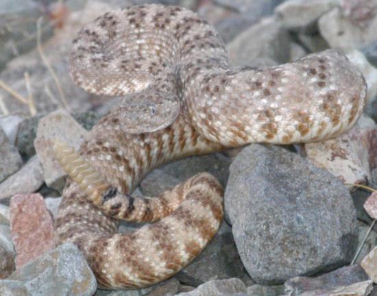 More Snake