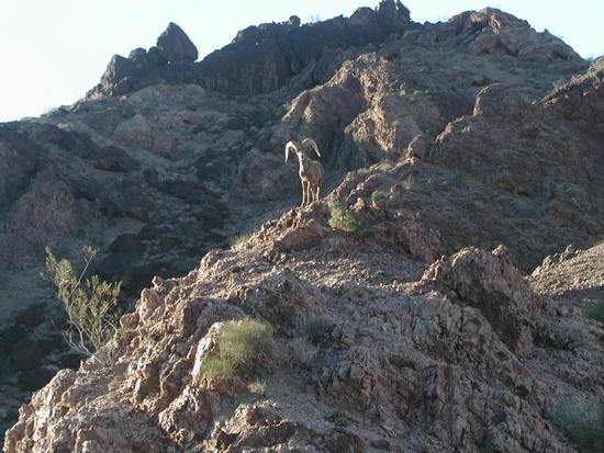 Mountain Sheep Ram on Ridge