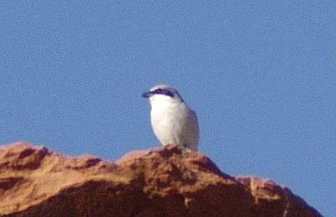 White Tailed kITE IN nEVADA?