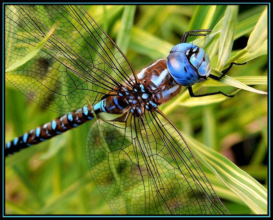 Dragonfly on Reed
