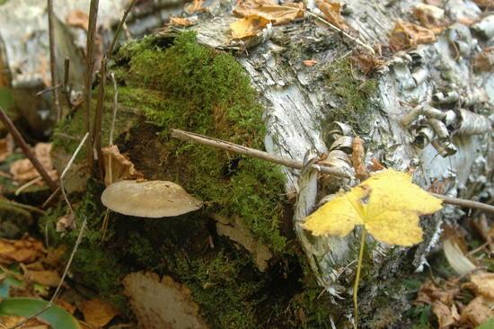 071 Birch Log
