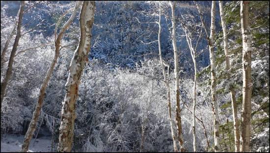 yatsugatake trees