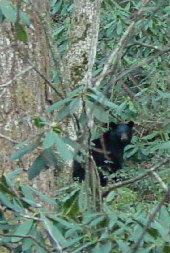 Momma Bear in GSMNP