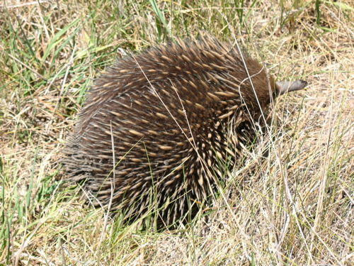 Echidnas are cool!