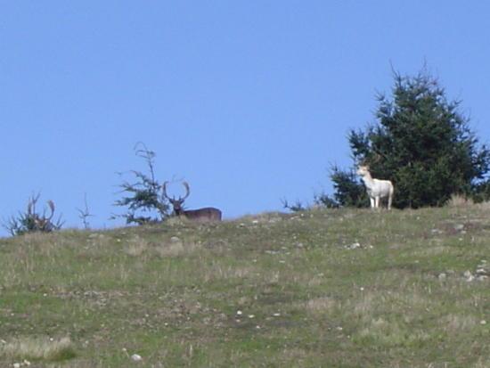 PR white deer