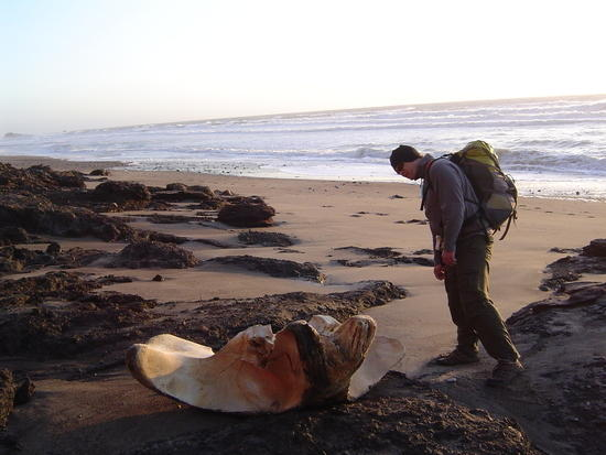 pr whale bone