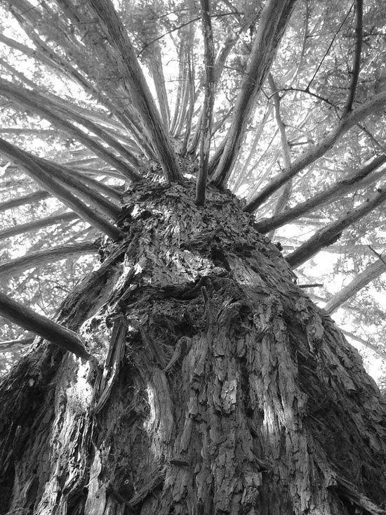 massive redwoods