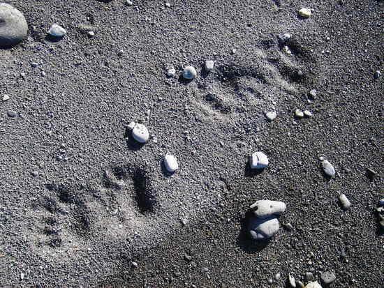 Bear tracks on the Lost Coast