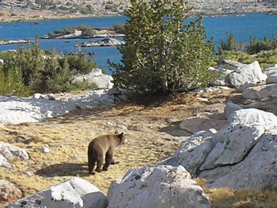 Banner Peak Bear