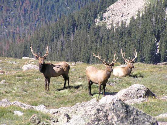 Elk on Bighorn Flats