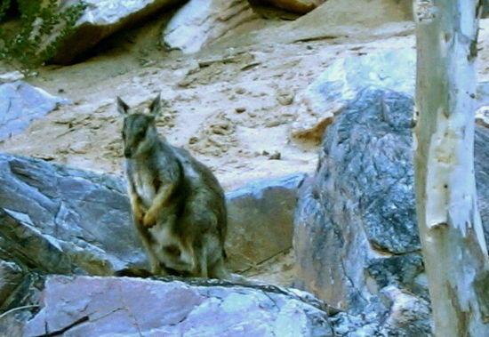 Desert wallaby