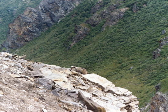 Yellow-bellied Marmot on cliffs above Savage River