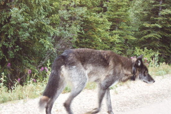 Alpha wolf  on Denali Park Road