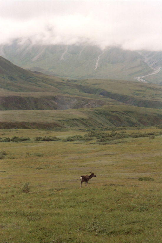 Caribou on tundra of Denali, NP