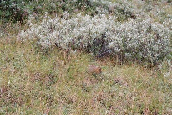 Arctic Ground Squirrel forages near Savage River, Denali NP