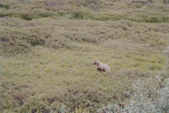 Grizzly near Wonder Lake, Denali NP