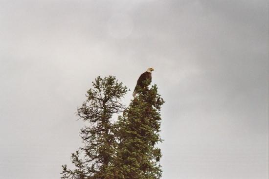 Bald Eagle on tree along Gulkana River near Paxton, AK