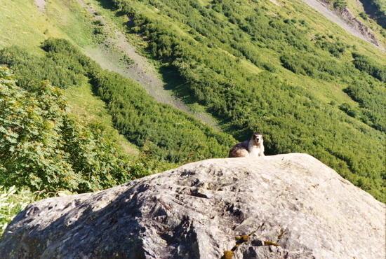 Yellow-bellied Marmot on rock along Harding Icefield Trail, Kenai Fjords NP