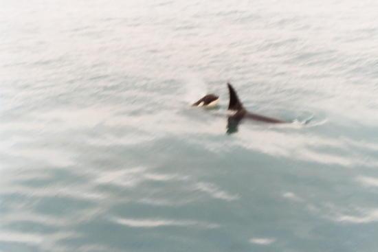 Orca whales  in Resurrection Bay  near Seward, AK