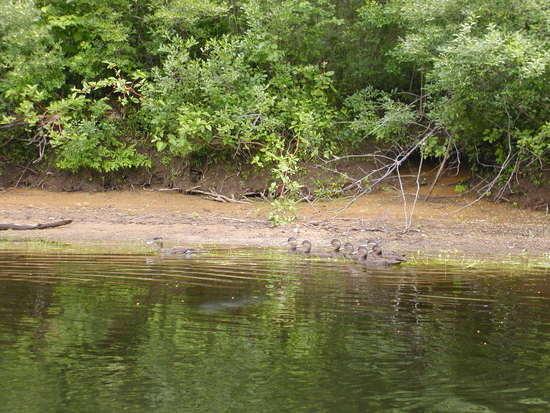 Ducks in Raquette River in the Adirondacks