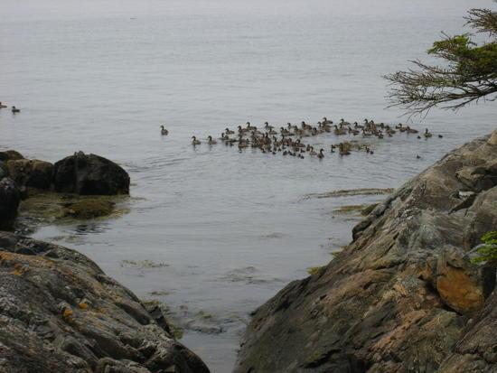 Birds in ocean off Isle au Haut, Acadia NP