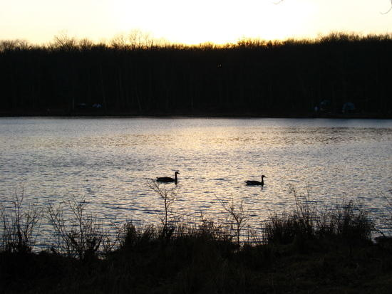 Canada Geese on Sawmill Lake in High Point SP, NJ