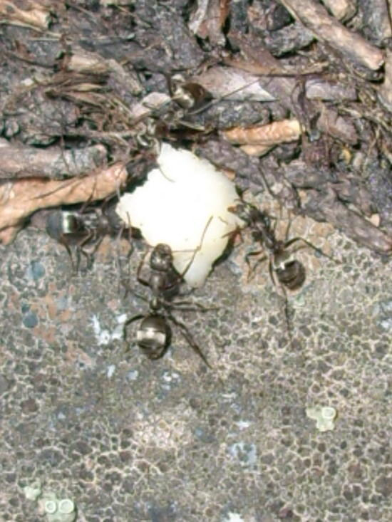Wood Ants - Roosevelt Lake - Emigrant Wilderness