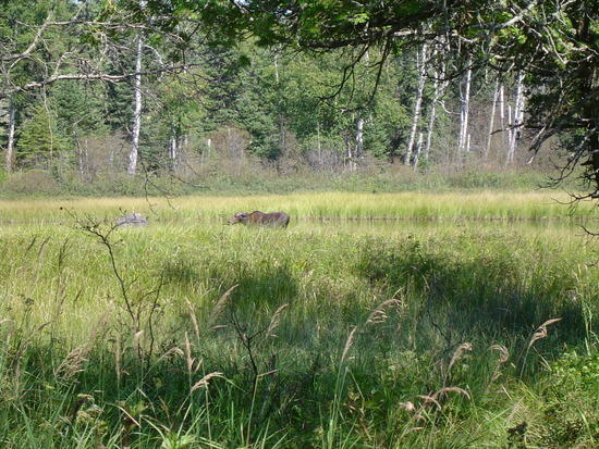 Moose grazing inthe Siskiwit Ponds