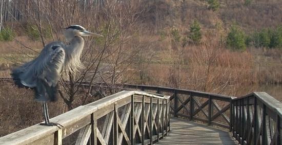 Heron standing