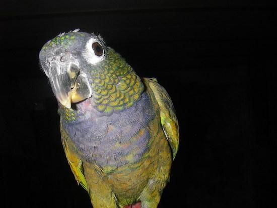 Betty Crocker Parrot 2