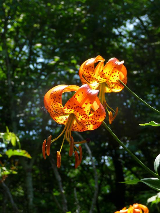 turks lily