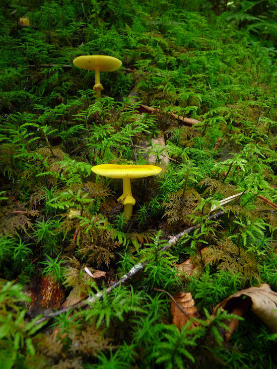 yellow mushrooms
