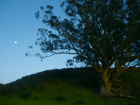 Point Reyes Tree
