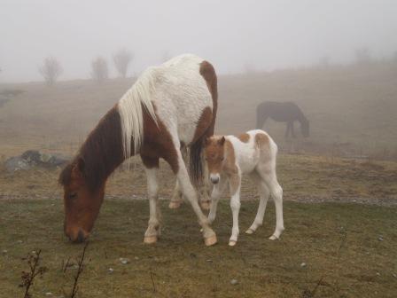 Grayson Highland Horses
