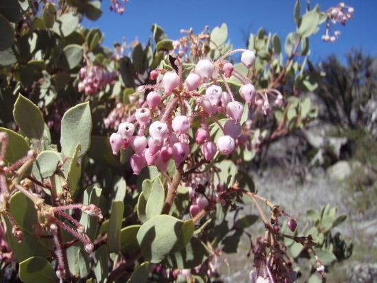 manzanita blossoms - i ate several
