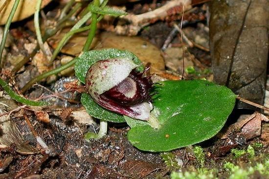 CorybasPruinosus