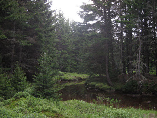 Along a calm stream in a coniferous forest