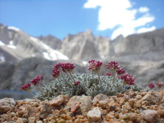 Alpine tundra flowers