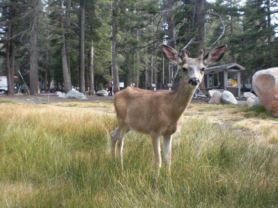 Pet deer at Tuolumne Meadows