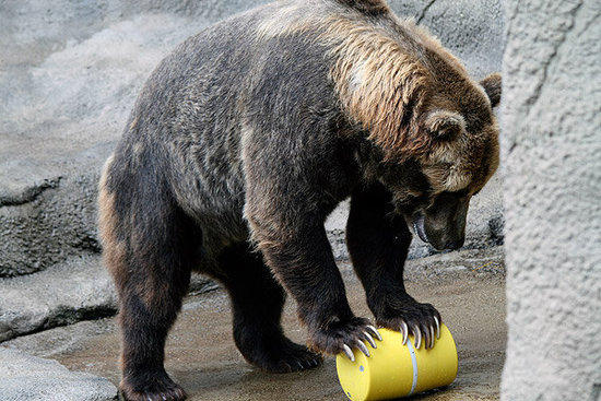 """Warren"" the Grizzly bear contending with a bear canister."