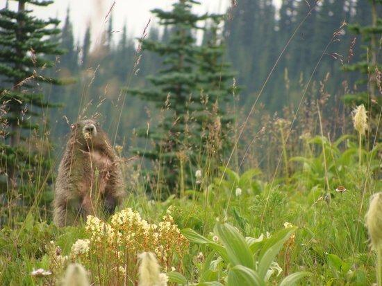 Oh marmot, our faithful whistler