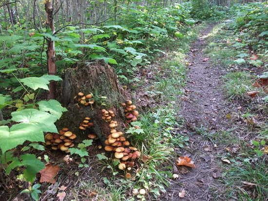 mushroom stump
