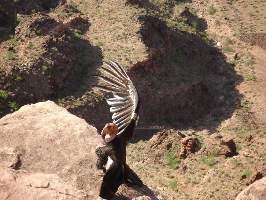 Condor right below us on a ridge
