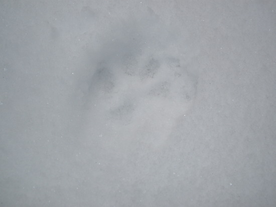 Bobcat/fox/coyote???  tracks