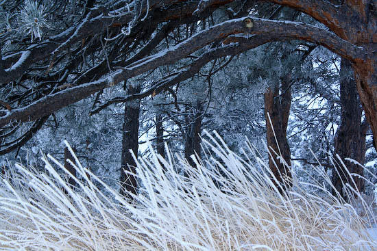 Frosted grass and ponderosa boughs