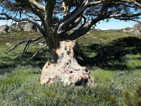 Old Snow Gum on Trapyard Spur 0105