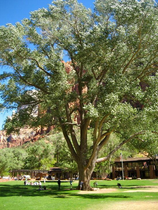Zion Tree