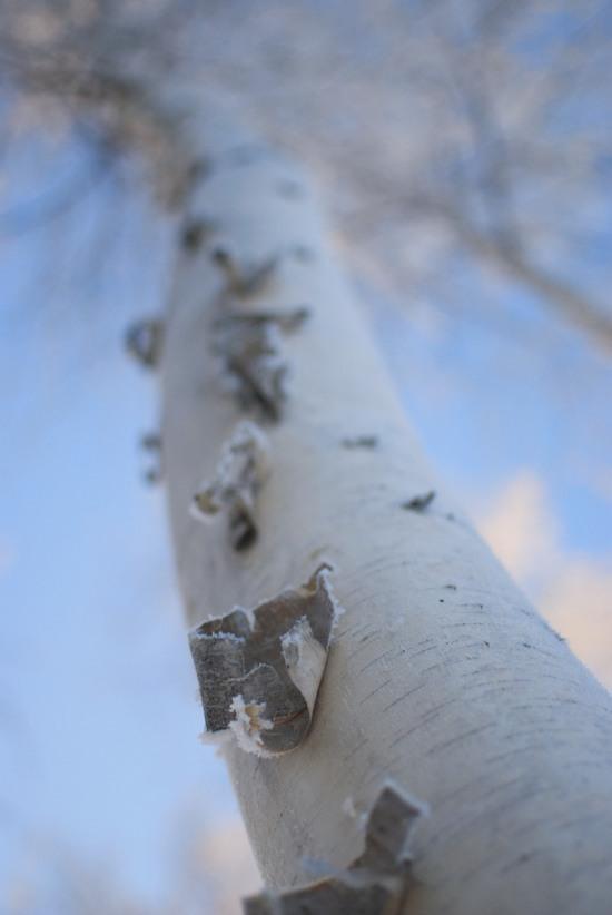 Birch Bark - UAF
