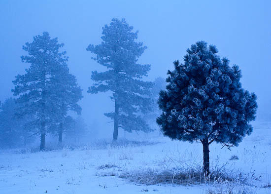 frosted ponderosa
